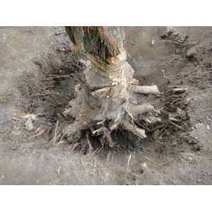 Tree Root Digging/Removing Service